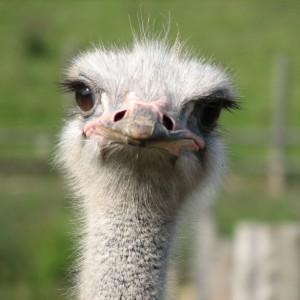 ostrich2-585x585